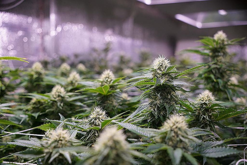 Cannabis Industry Job market