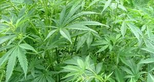 Hemp Fields for CBD