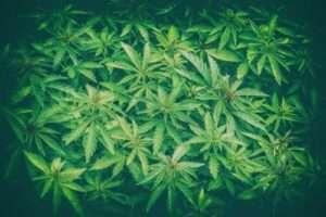 Legalizing Cannabis in NJ