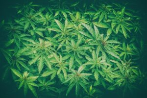 Cannabis Legalization Imminent NJ