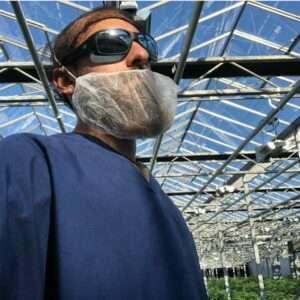 cannabis crop